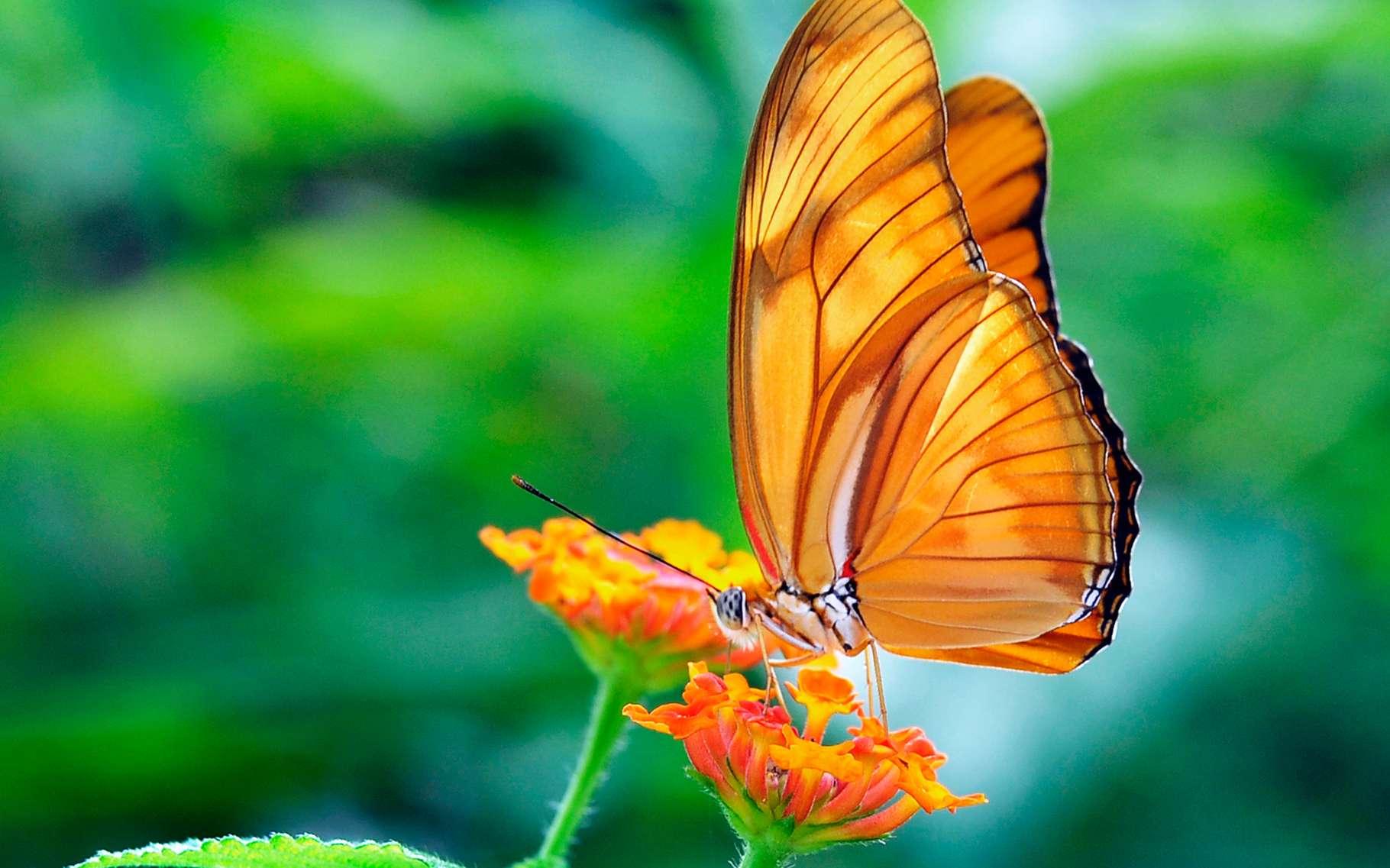 ailes_de_papillon